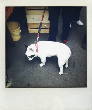 French bulldog at the market
