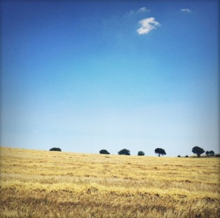 Wheat harvest at the Creanza farm
